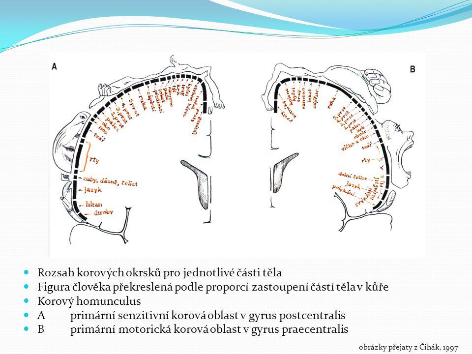 Rozsah korových okrsků pro jednotlivé části těla