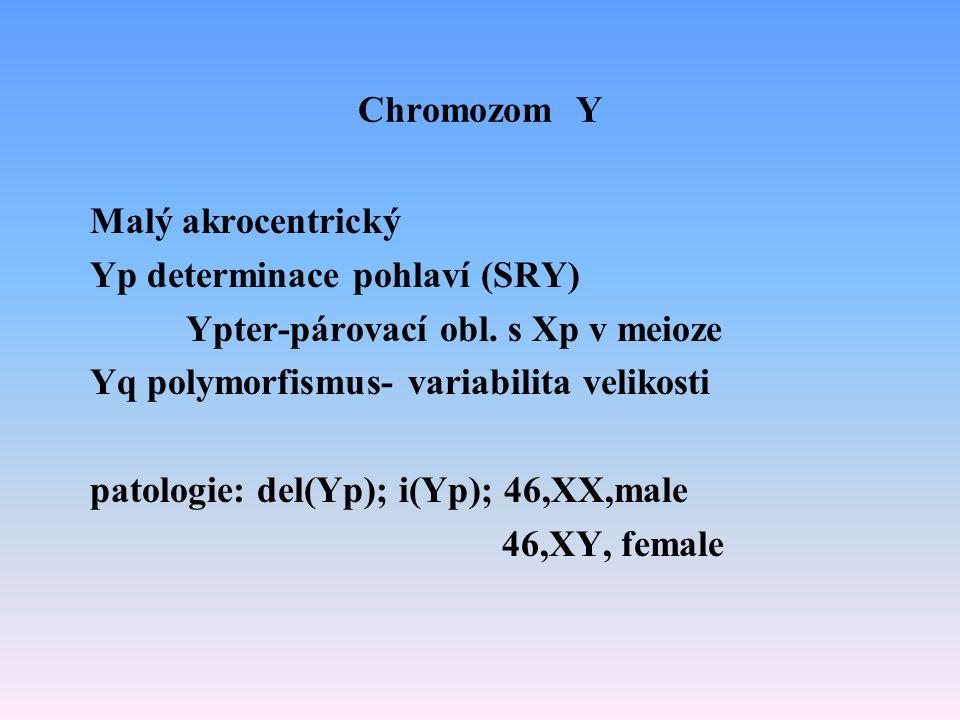 Chromozom Y Malý akrocentrický. Yp determinace pohlaví (SRY) Ypter-párovací obl. s Xp v meioze. Yq polymorfismus- variabilita velikosti.