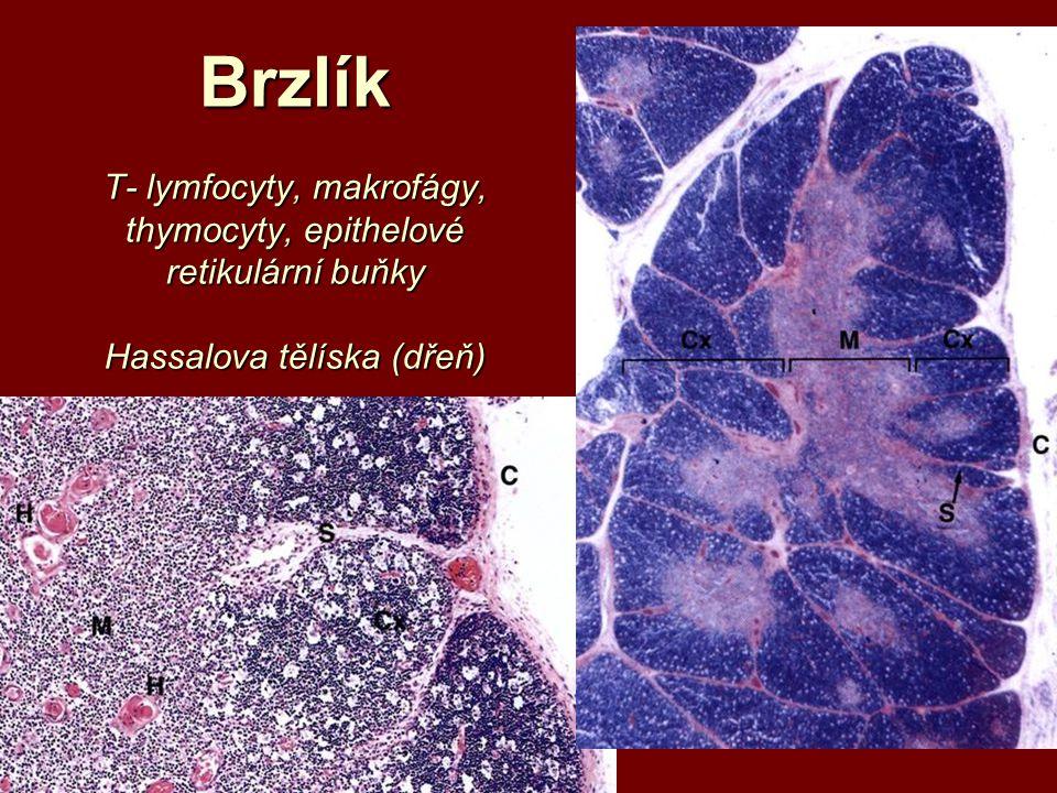 Brzlík T- lymfocyty, makrofágy, thymocyty, epithelové retikulární buňky Hassalova tělíska (dřeň)