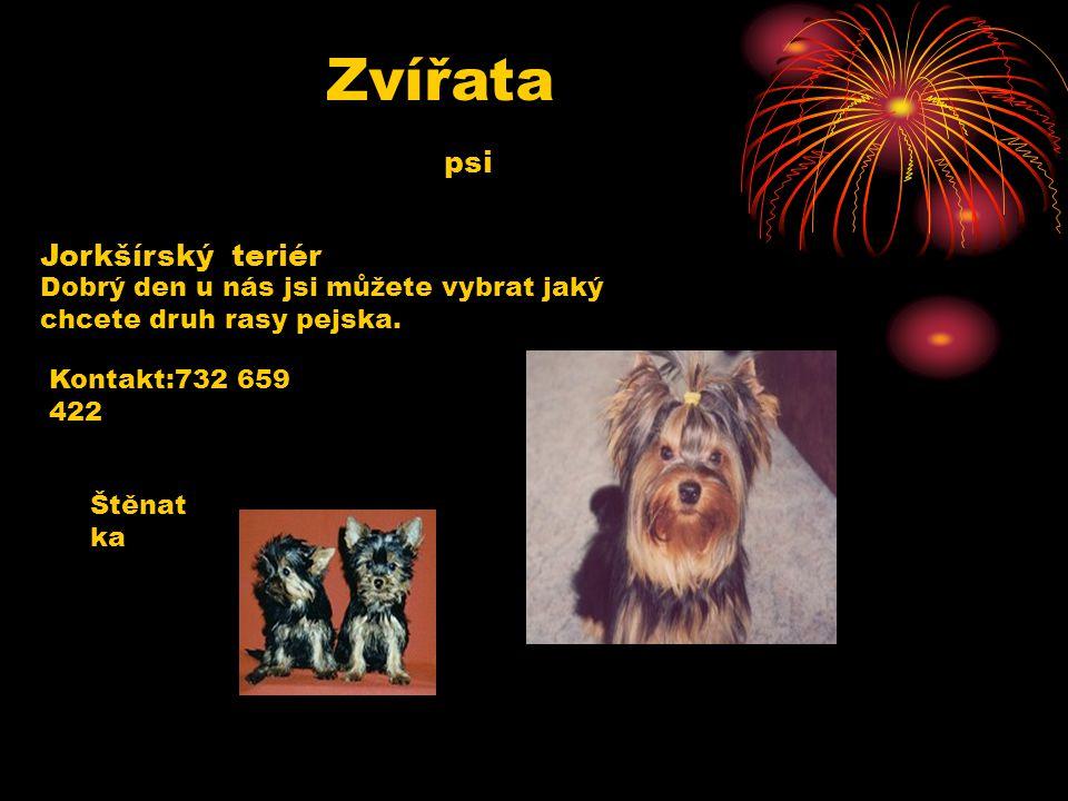 Zvířata psi Jorkšírský teriér