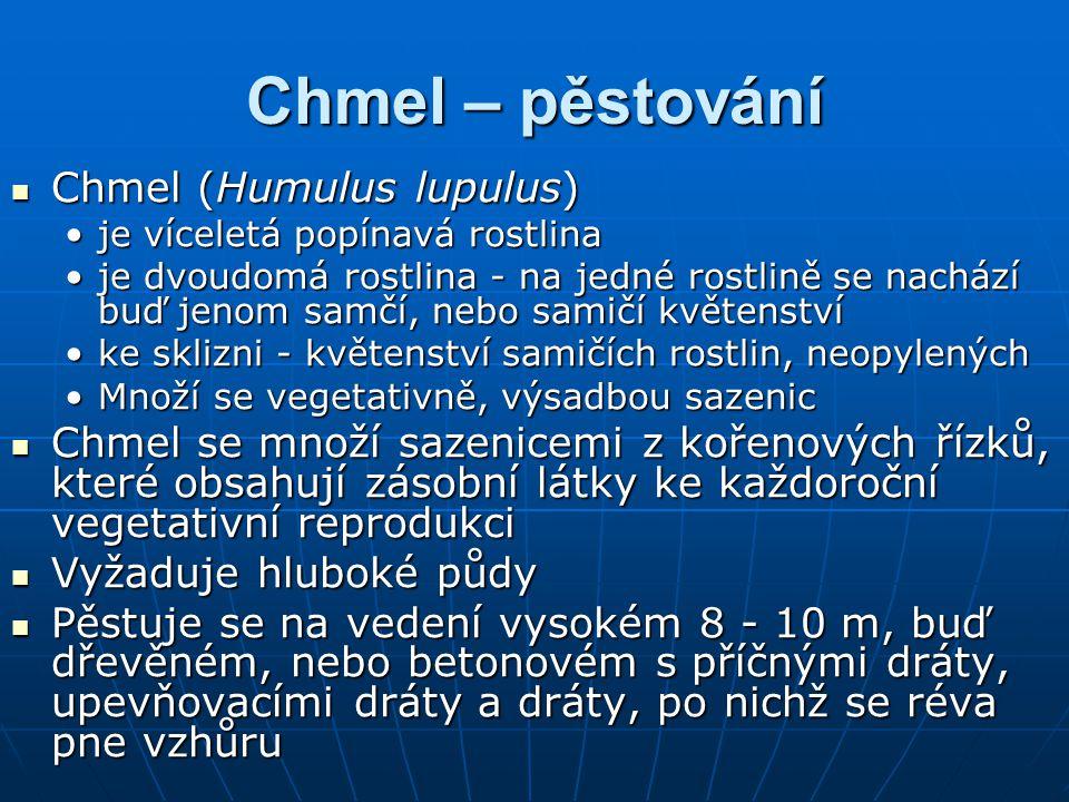 Chmel – pěstování Chmel (Humulus lupulus)