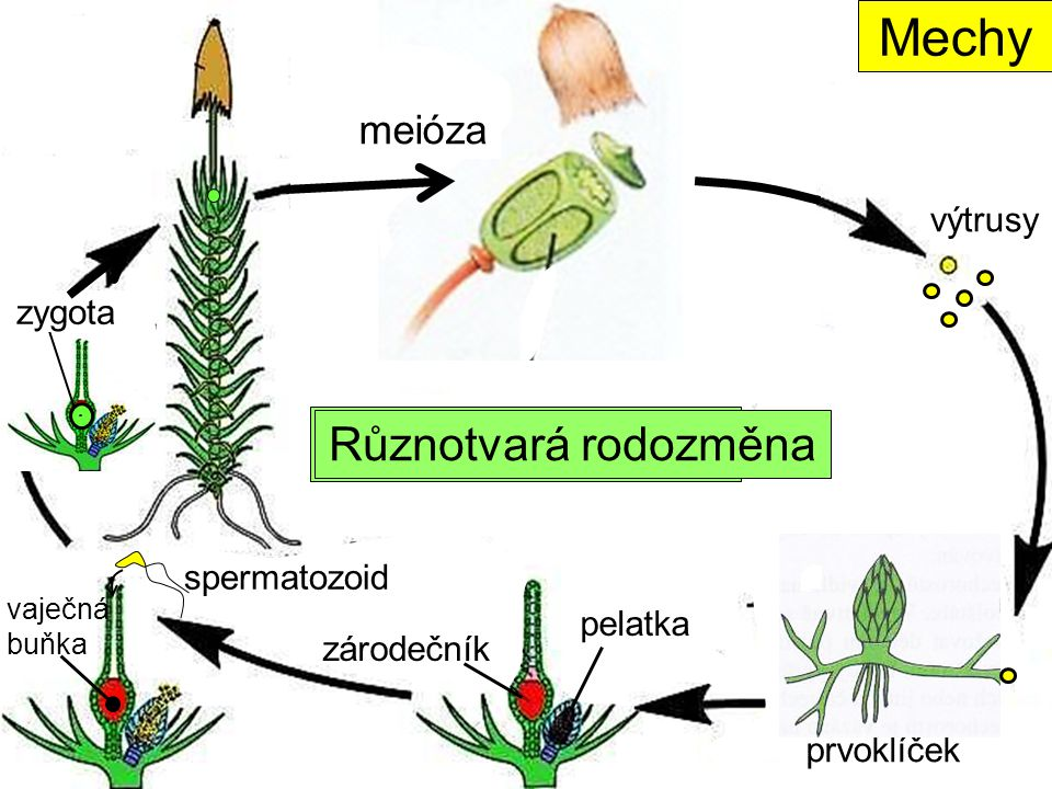 Mechy Typ rodozměny Různotvará rodozměna meióza výtrusy zygota