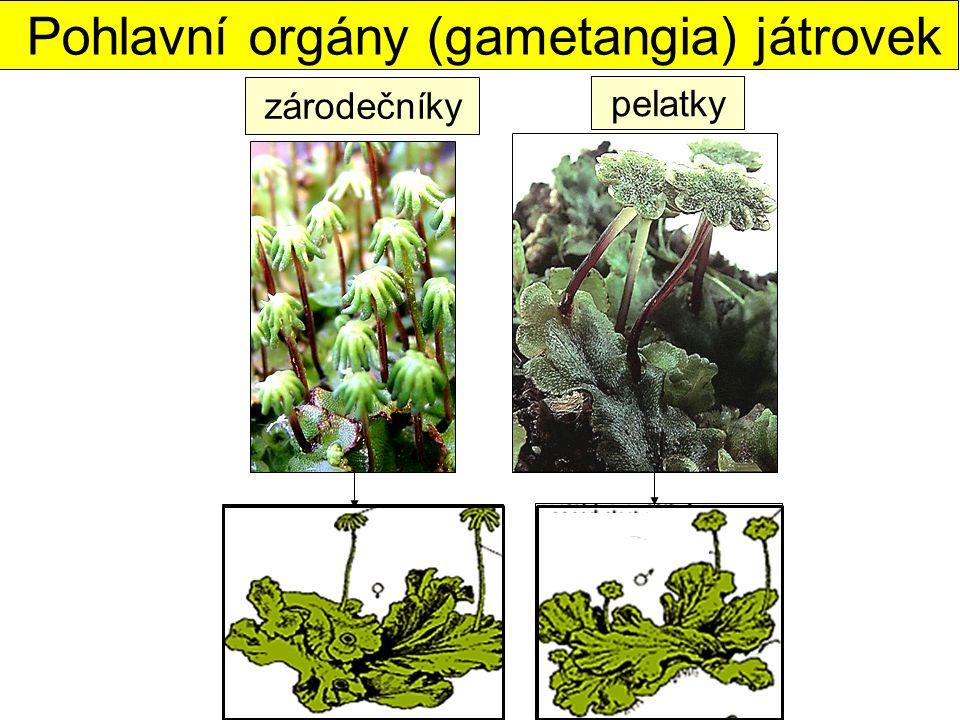 Pohlavní orgány (gametangia) játrovek