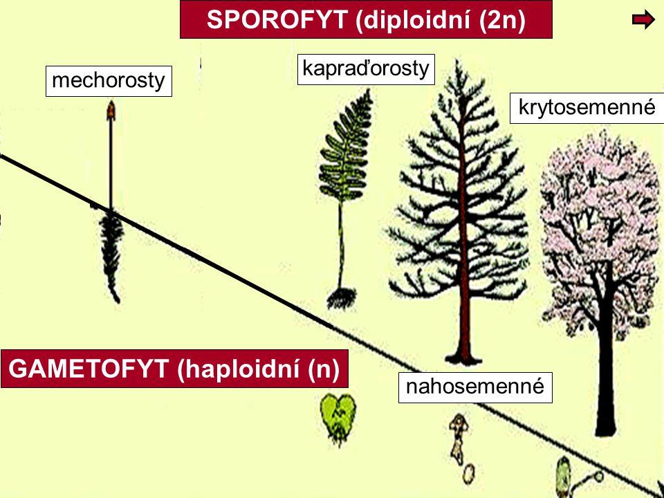 SPOROFYT (diploidní (2n) GAMETOFYT (haploidní (n)