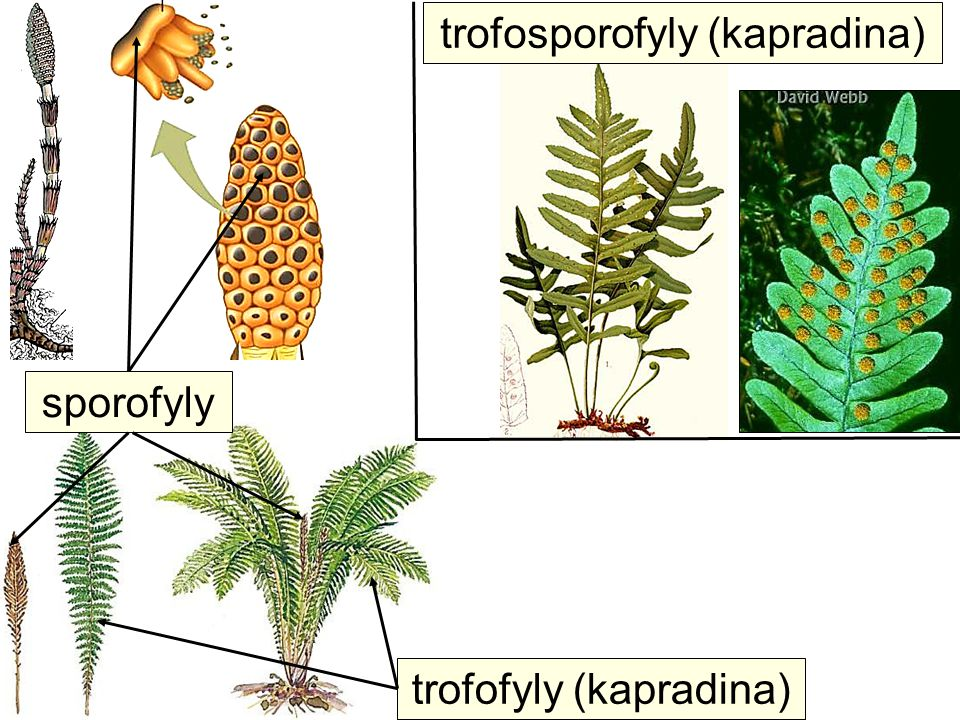 trofosporofyly (kapradina)