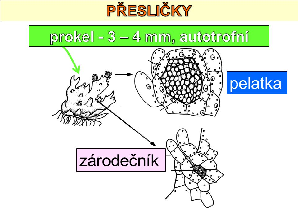 prokel - 3 – 4 mm, autotrofní