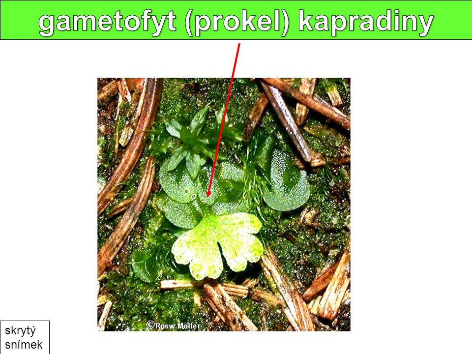 gametofyt (prokel) kapradiny