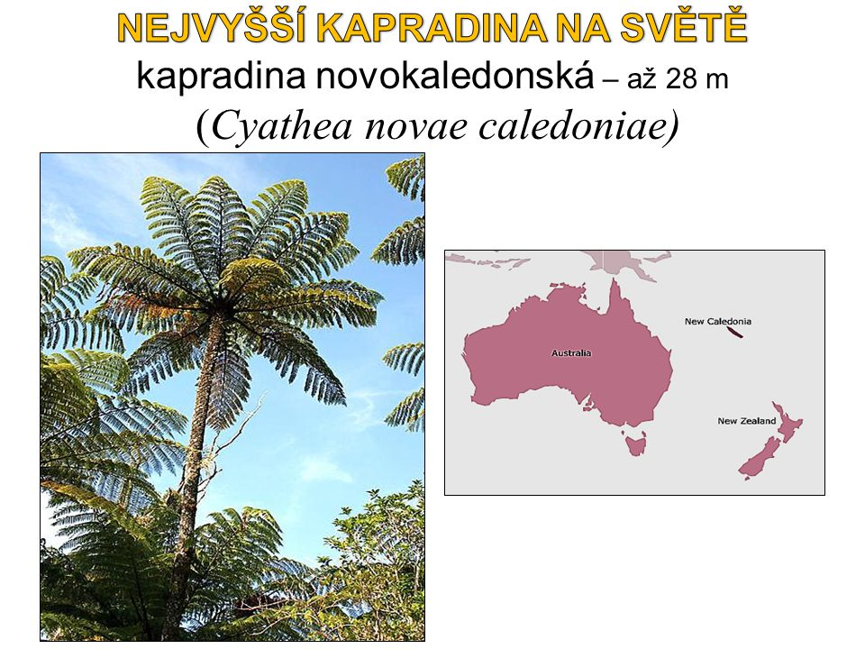 NEJVYŠŠÍ KAPRADINA NA SVĚTĚ kapradina novokaledonská – až 28 m