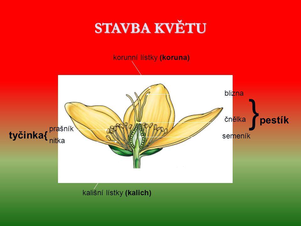 }pestík STAVBA KVĚTU tyčinka{ korunní lístky (koruna) blizna čnělka