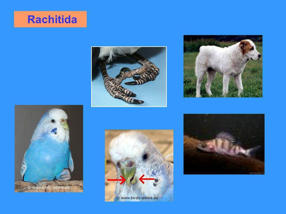 Rachitida