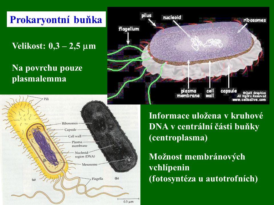 Prokaryontní buňka Velikost: 0,3 – 2,5 mm Na povrchu pouze plasmalemma