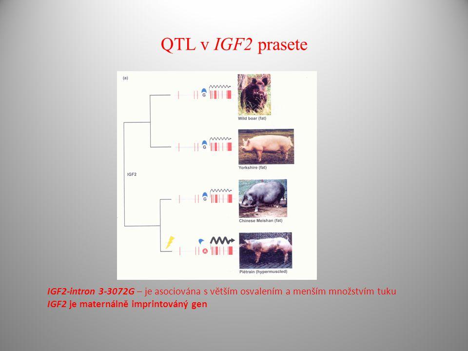 QTL v IGF2 prasete IGF2-intron 3-3072G – je asociována s větším osvalením a menším množstvím tuku.