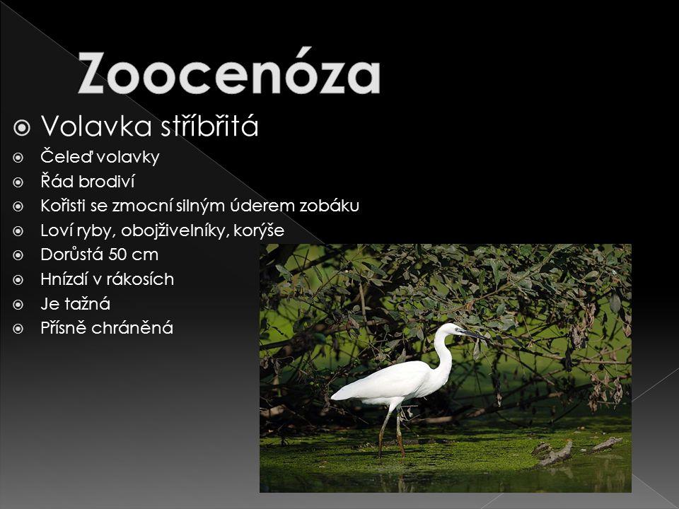 Zoocenóza Volavka stříbřitá Čeleď volavky Řád brodiví