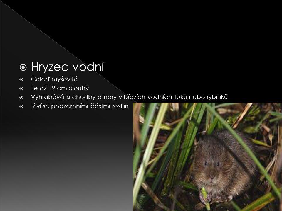 Hryzec vodní Čeleď myšovité Je až 19 cm dlouhý