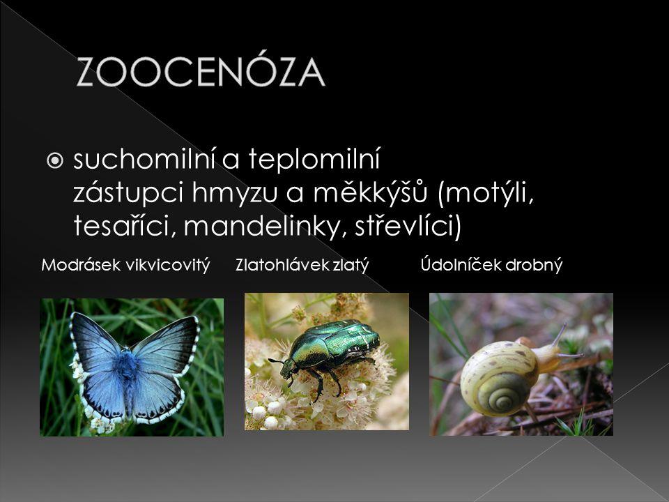 ZOOCENÓZA suchomilní a teplomilní zástupci hmyzu a měkkýšů (motýli, tesaříci, mandelinky, střevlíci)