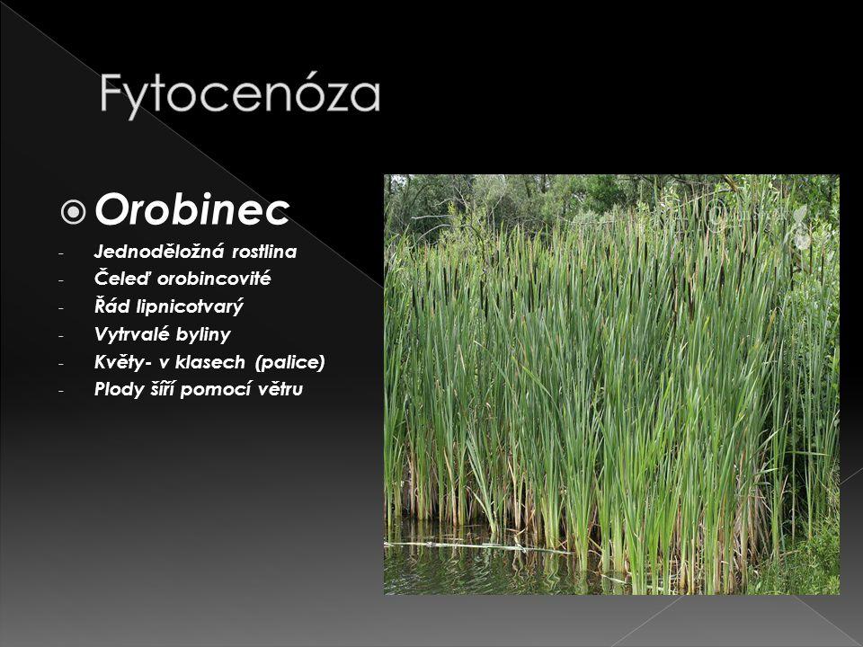 Fytocenóza Orobinec Jednoděložná rostlina Čeleď orobincovité