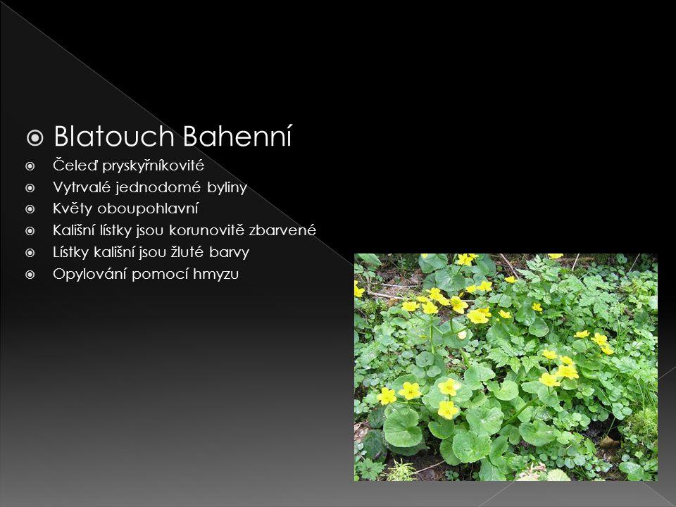 Blatouch Bahenní Čeleď pryskyřníkovité Vytrvalé jednodomé byliny