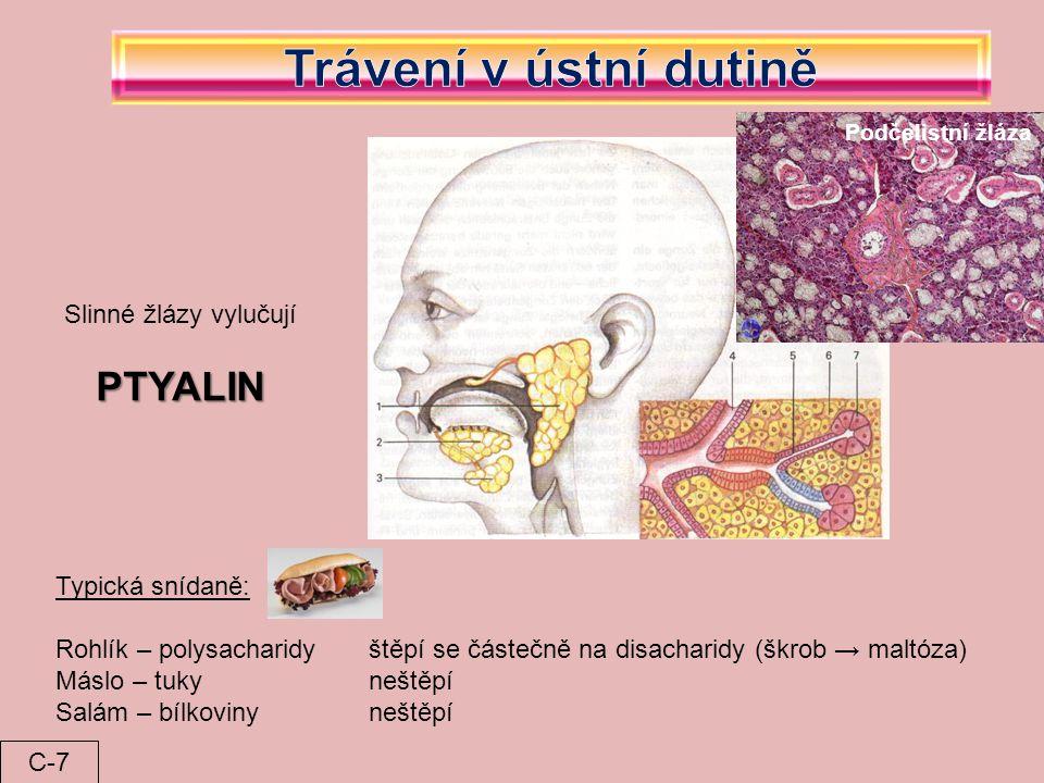 Trávení v ústní dutině PTYALIN Slinné žlázy vylučují Typická snídaně: