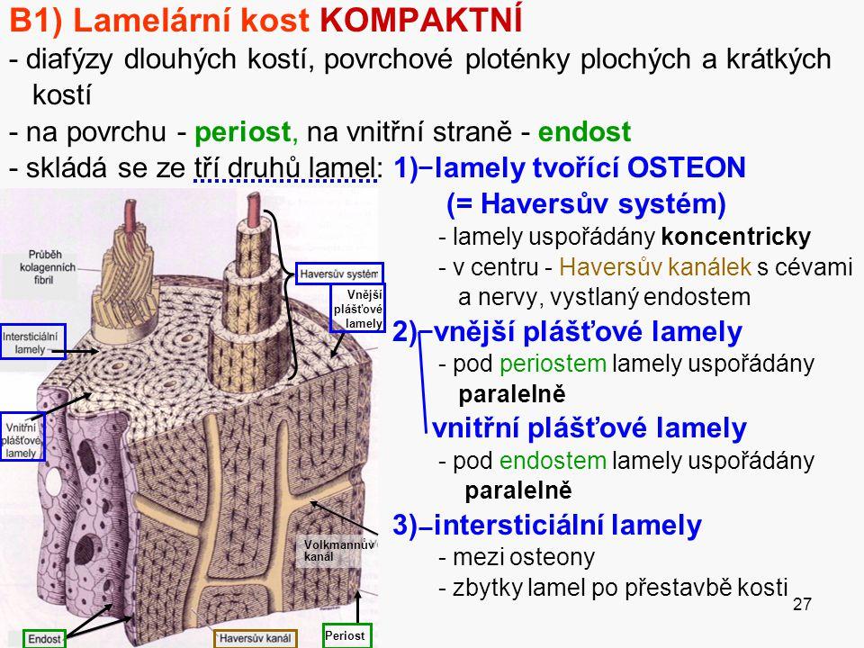 B1) Lamelární kost KOMPAKTNÍ