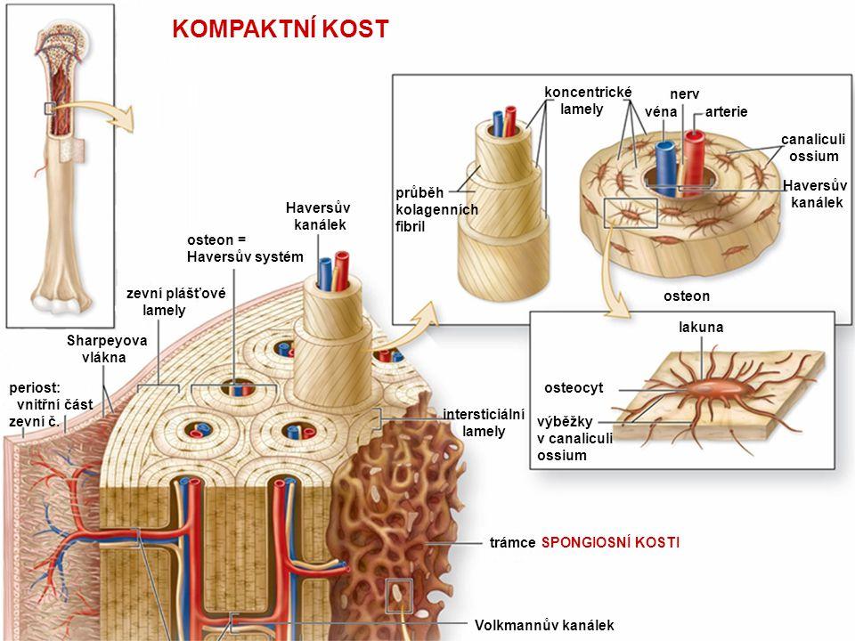 KOMPAKTNÍ KOST koncentrické lamely nerv véna arterie canaliculi ossium