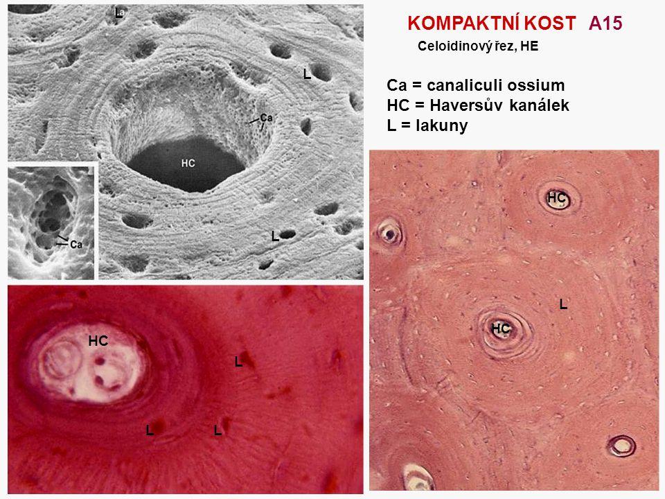 KOMPAKTNÍ KOST A15 Ca = canaliculi ossium HC = Haversův kanálek