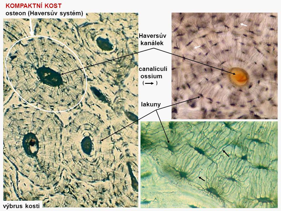 osteon (Haversův systém)