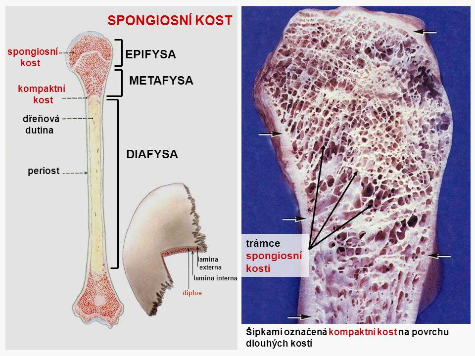 SPONGIOSNÍ KOST EPIFYSA METAFYSA DIAFYSA trámce spongiosní kosti