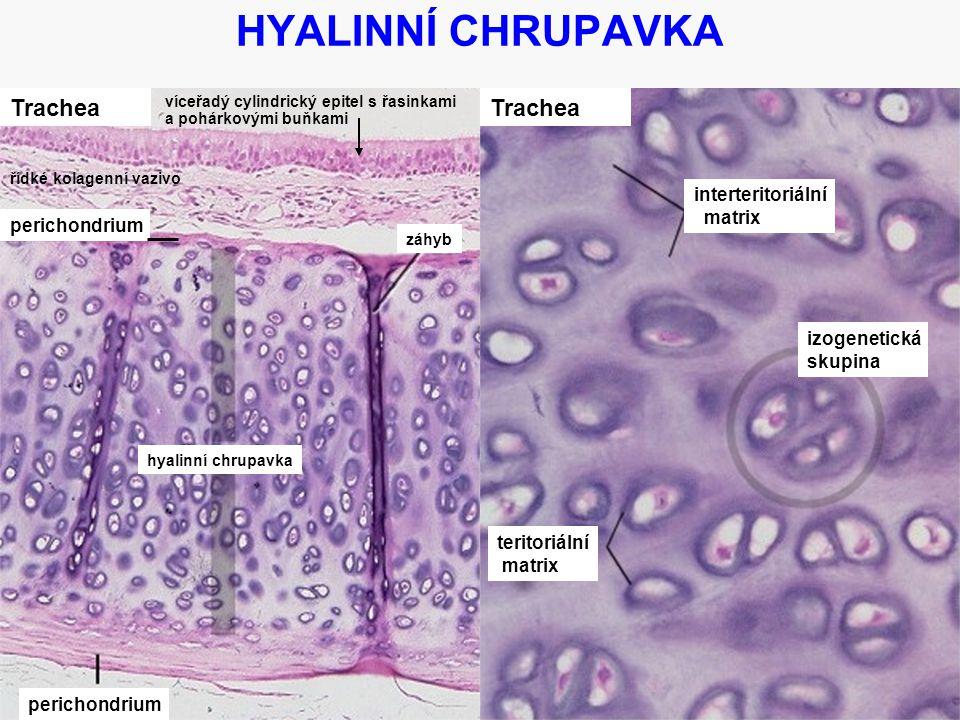 HYALINNÍ CHRUPAVKA Trachea Trachea interteritoriální matrix