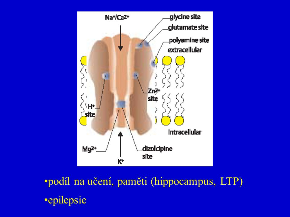 podíl na učení, paměti (hippocampus, LTP)