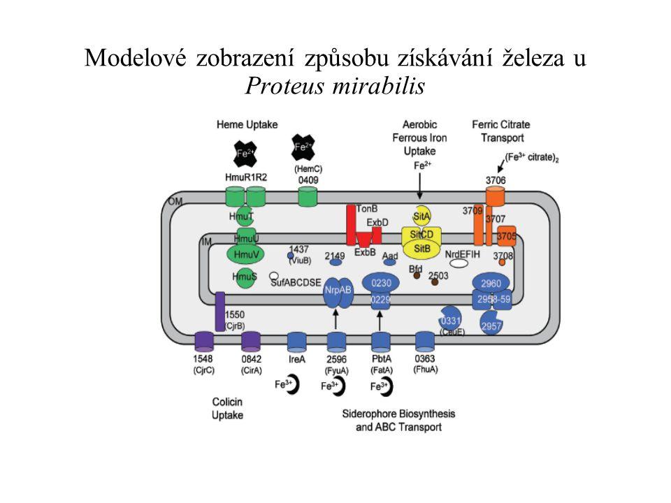 Modelové zobrazení způsobu získávání železa u Proteus mirabilis