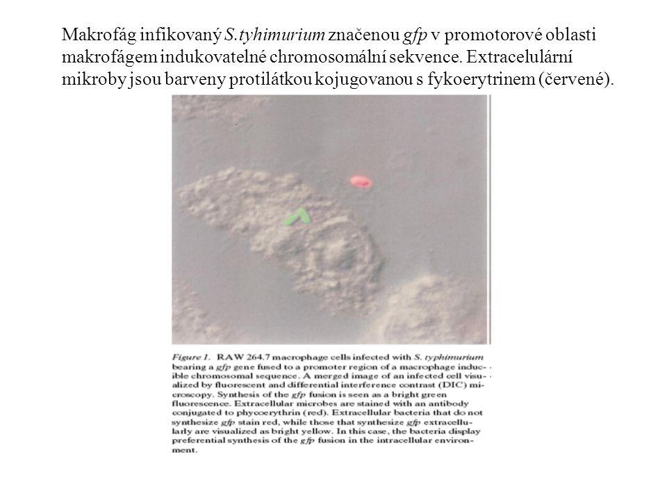 Makrofág infikovaný S.tyhimurium značenou gfp v promotorové oblasti makrofágem indukovatelné chromosomální sekvence.