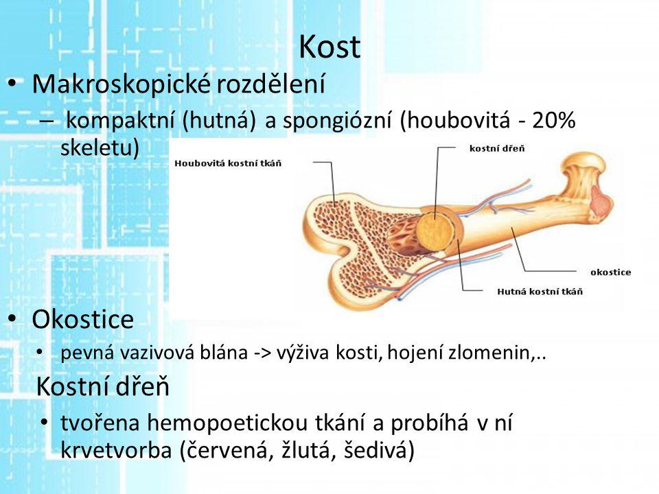 Kost Makroskopické rozdělení Okostice Kostní dřeň