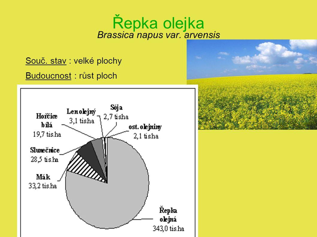 Řepka olejka Brassica napus var. arvensis