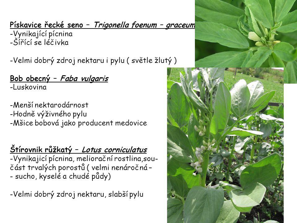 Pískavice řecké seno – Trigonella foenum – graceum
