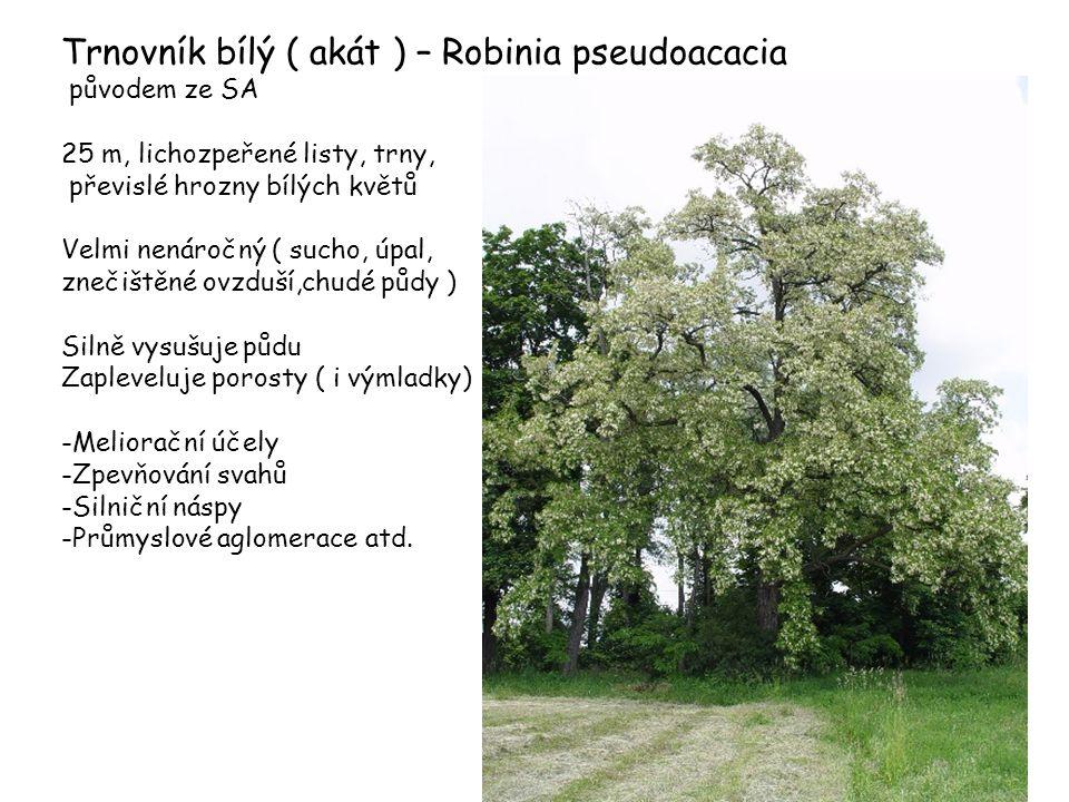 Trnovník bílý ( akát ) – Robinia pseudoacacia
