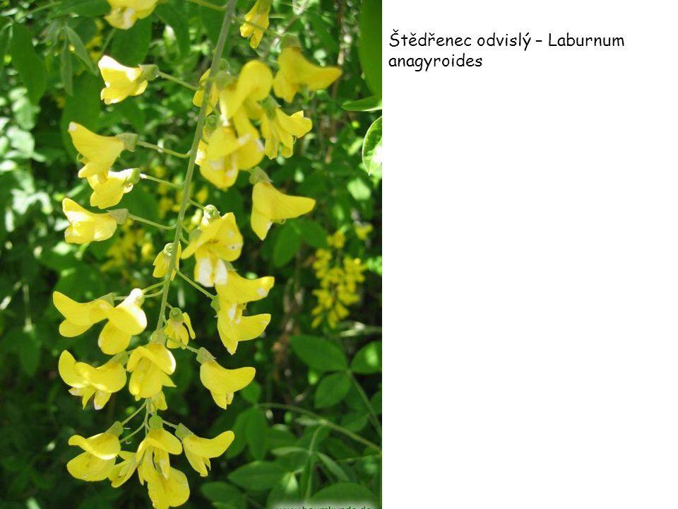Štědřenec odvislý – Laburnum anagyroides