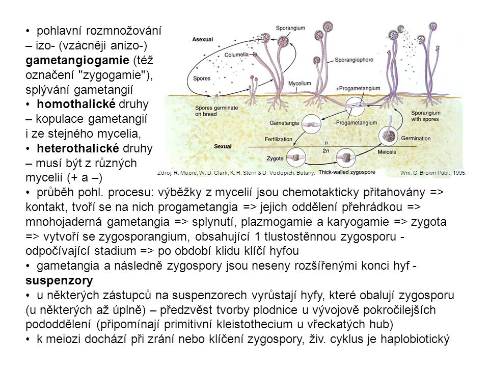 • pohlavní rozmnožování – izo- (vzácněji anizo-) gametangiogamie (též