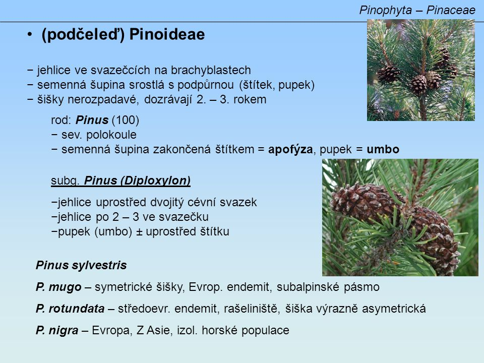 (podčeleď) Pinoideae Pinophyta – Pinaceae