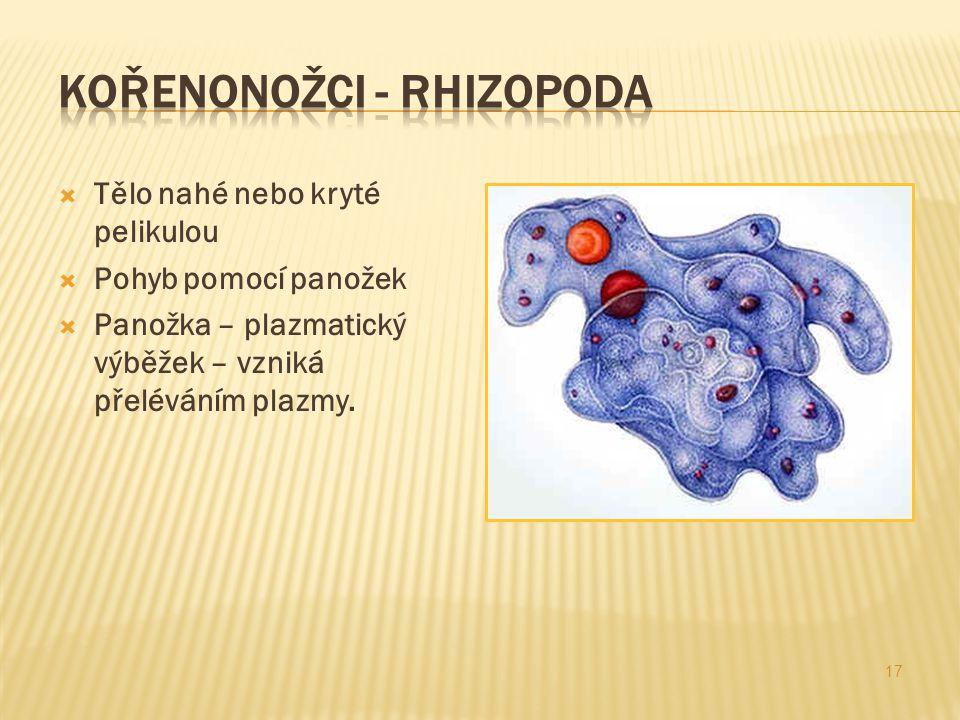 Kořenonožci - rhizopoda
