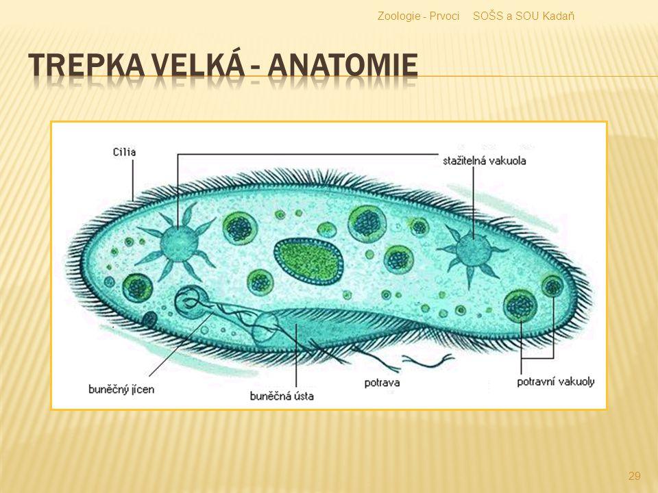 Trepka velká - anatomie