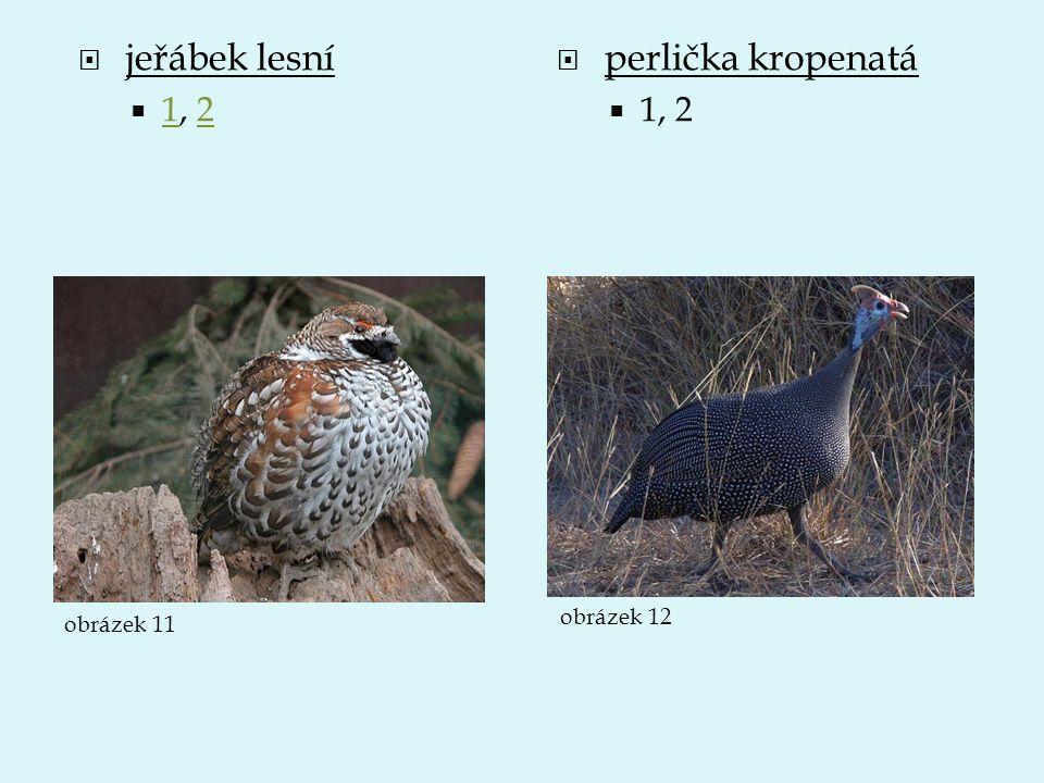 jeřábek lesní 1, 2 perlička kropenatá 1, 2 obrázek 12 obrázek 11