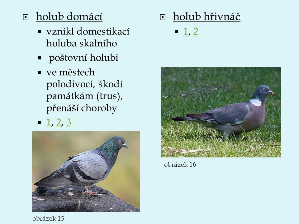 holub domácí holub hřivnáč vznikl domestikací holuba skalního