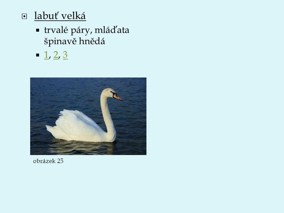 labuť velká trvalé páry, mláďata špinavě hnědá 1, 2, 3 obrázek 25