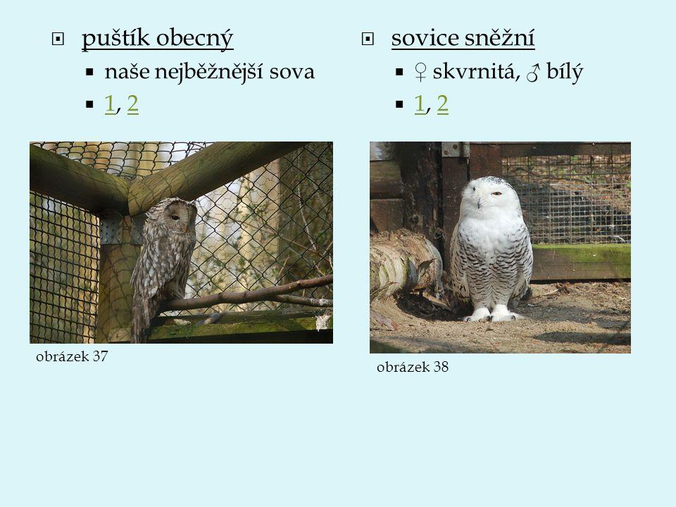 puštík obecný sovice sněžní naše nejběžnější sova 1, 2