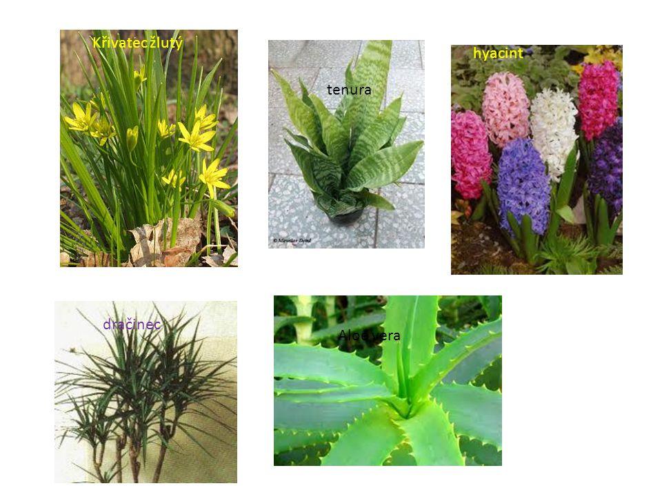 Křivatec žlutý hyacint tenura dračinec Aloe vera