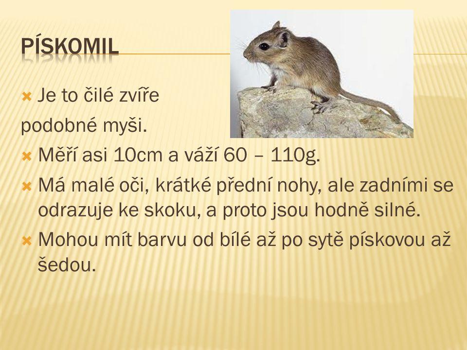 PÍSKOMIL Je to čilé zvíře podobné myši.