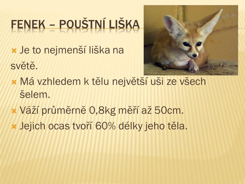 FeNEK – POUŠTNÍ LIŠKA Je to nejmenší liška na světě.