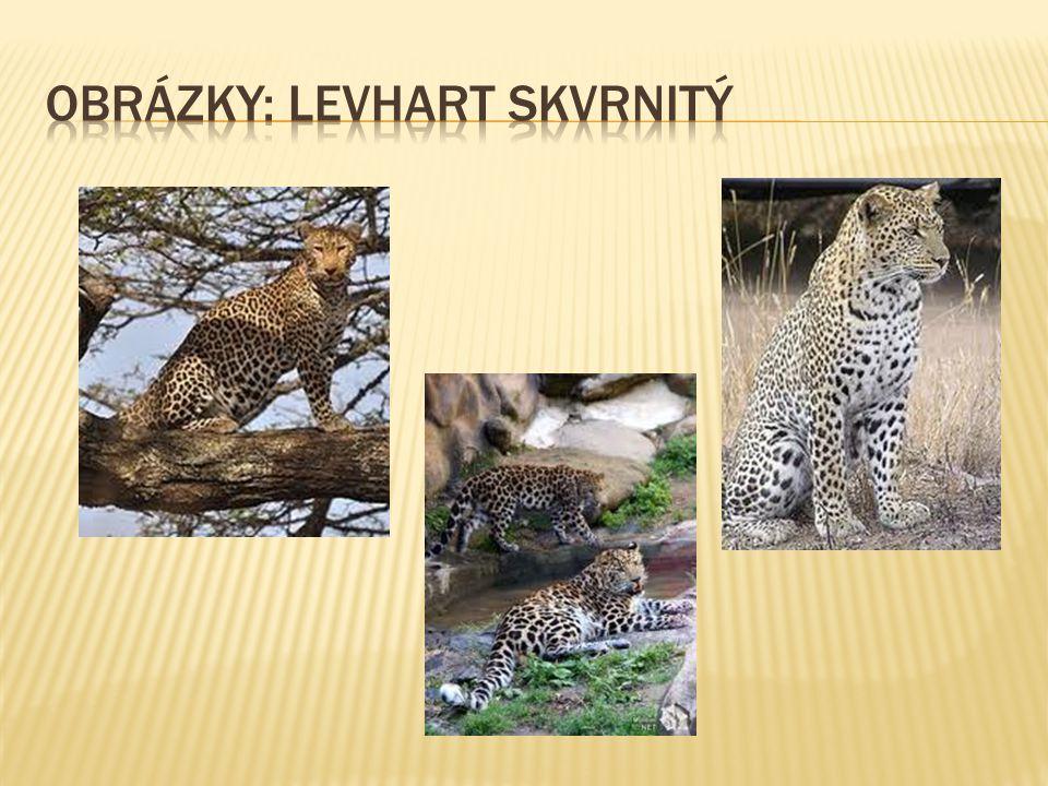 Obrázky: levhart skvrnitý