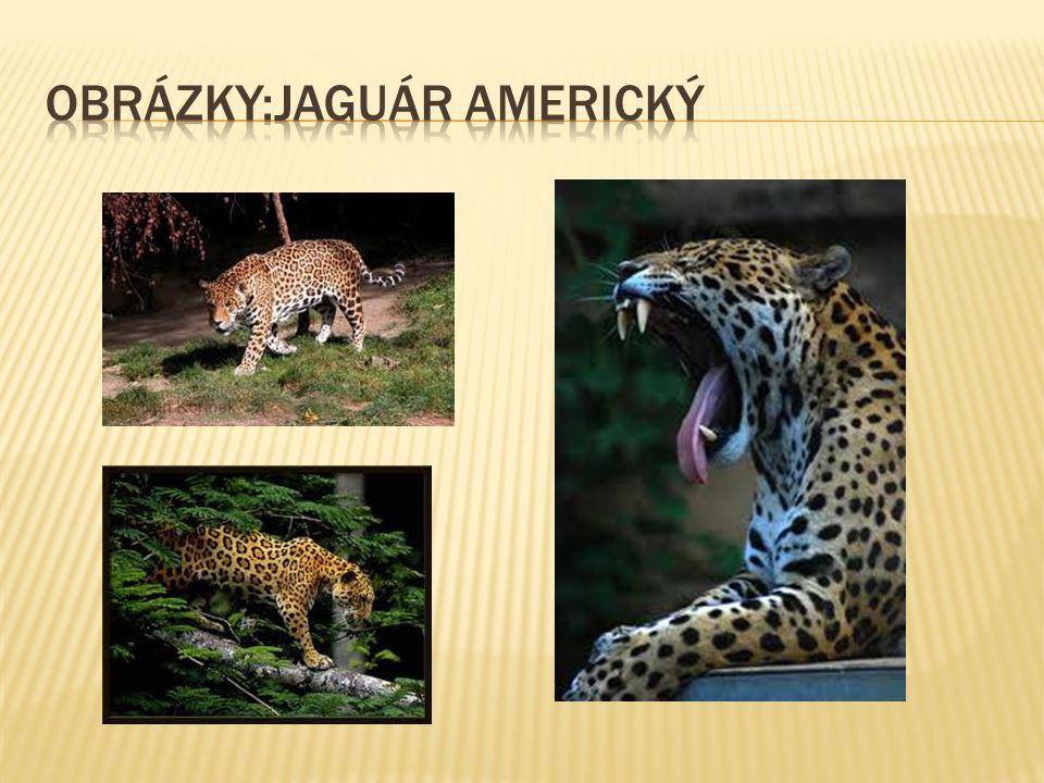 Obrázky:jaguár americký