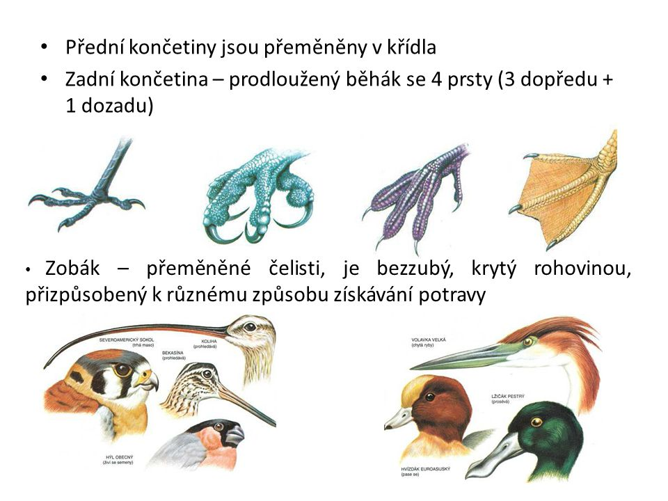 Přední končetiny jsou přeměněny v křídla